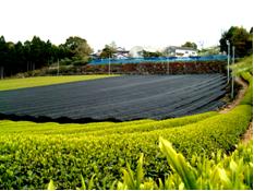 2007年新茶写真02