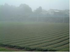 2007年新茶写真03