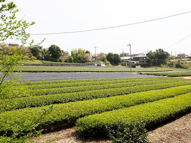 品種茶への取り組み