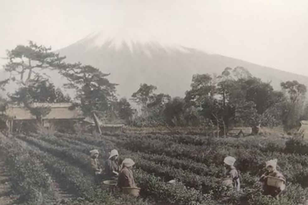 在来種で茶の栽培をスタート